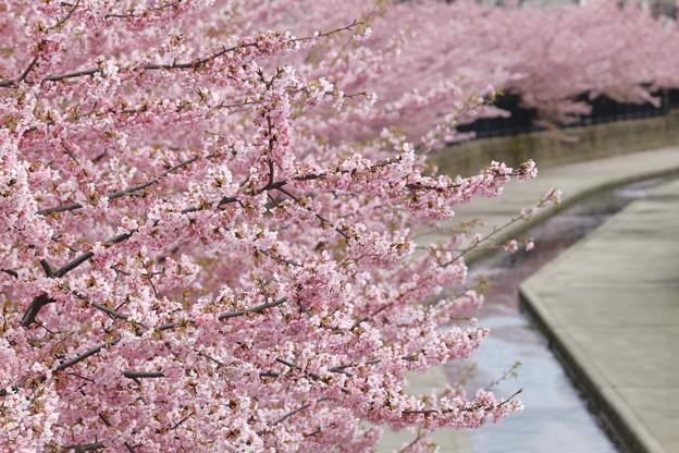 京都・淀水路の河津桜20