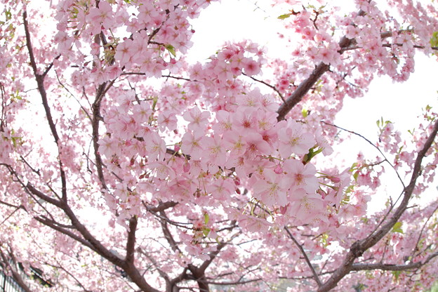 京都・淀水路の河津桜18