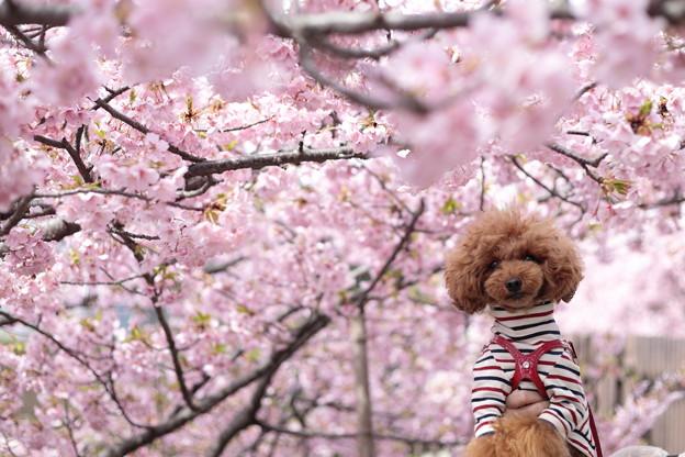 京都・淀水路の河津桜14
