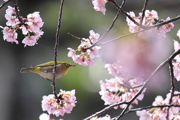 京都・淀水路の河津桜09