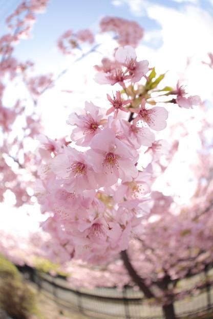 京都・淀水路の河津桜05
