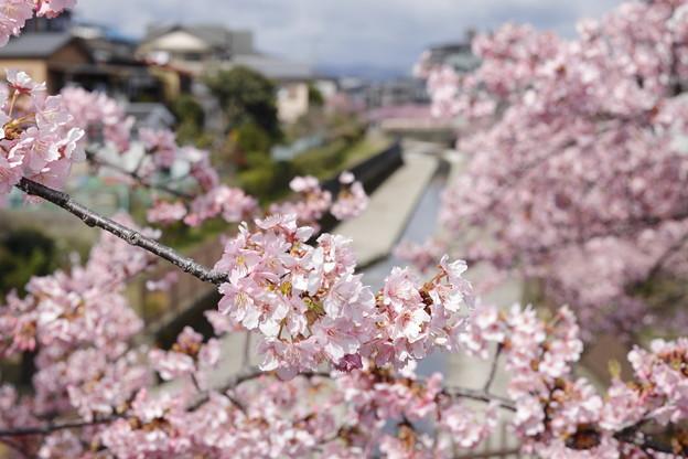 京都・淀水路の河津桜12