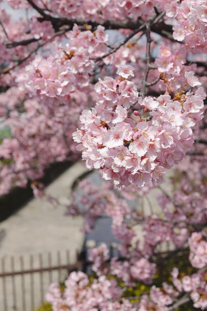京都・淀水路の河津桜13