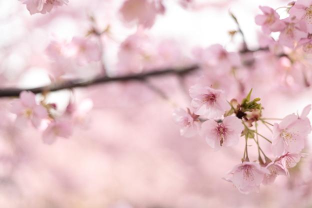 京都・淀水路の河津桜16