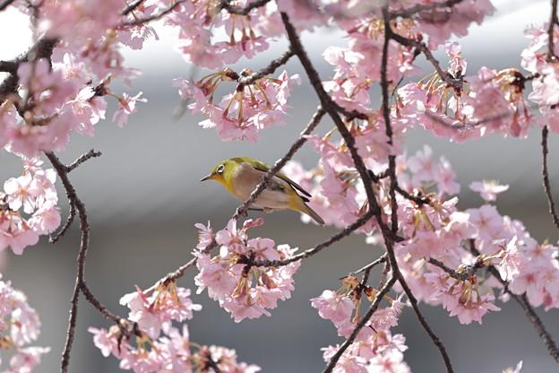 京都・淀水路の河津桜07