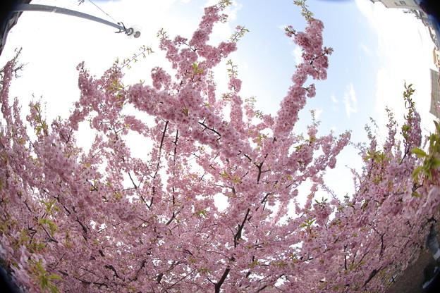 京都・淀水路の河津桜01