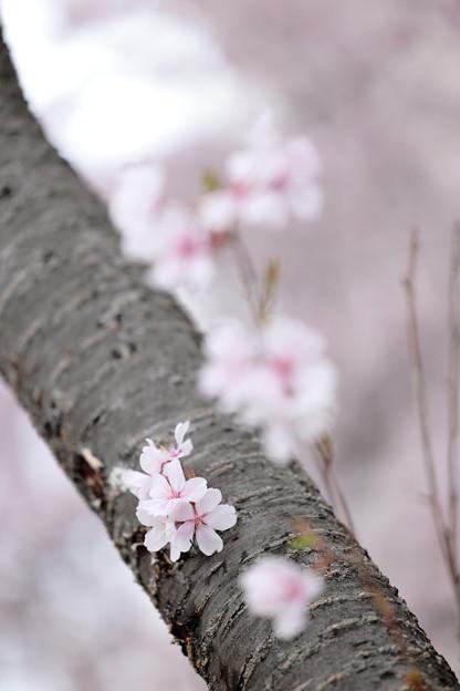 狭山公園のコシノヒガン桜10