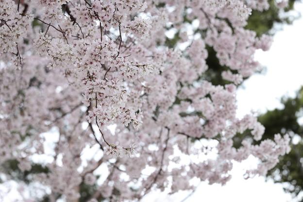 狭山公園のコシノヒガン桜01