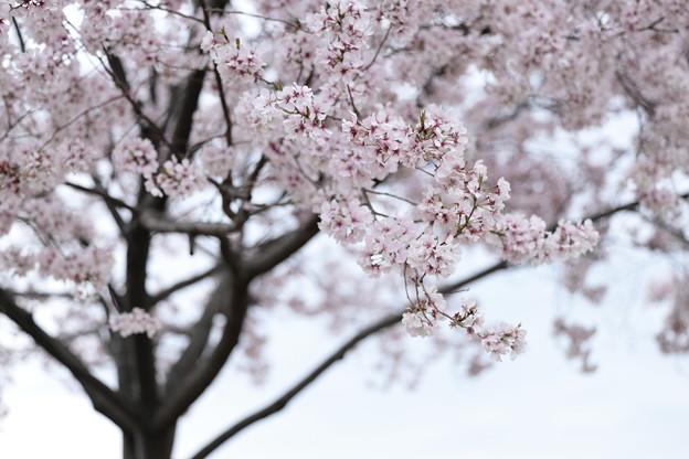 狭山公園のコシノヒガン桜02