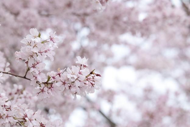 狭山公園のコシノヒガン桜03
