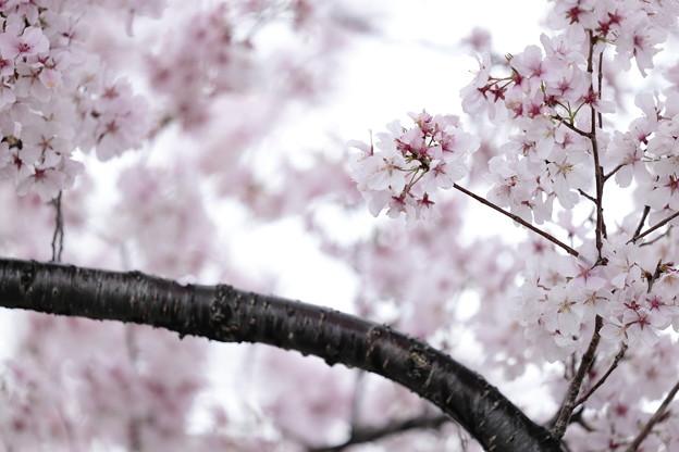 狭山公園のコシノヒガン桜16