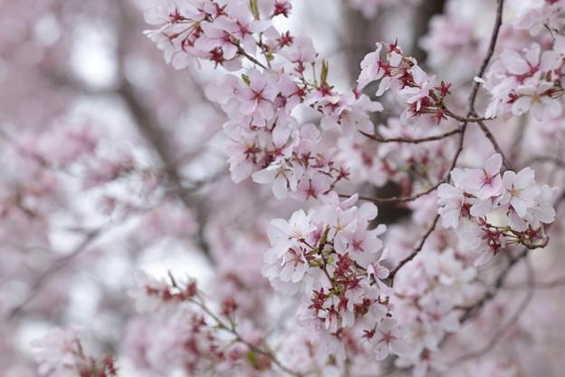 狭山公園のコシノヒガン桜09