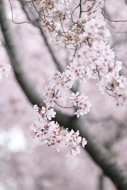 狭山公園のコシノヒガン桜06
