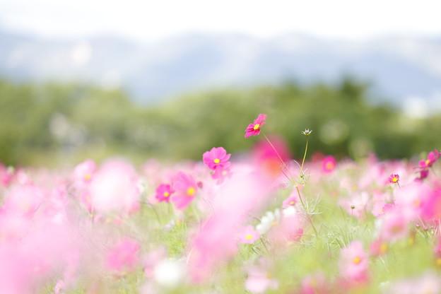 武庫川のコスモス06