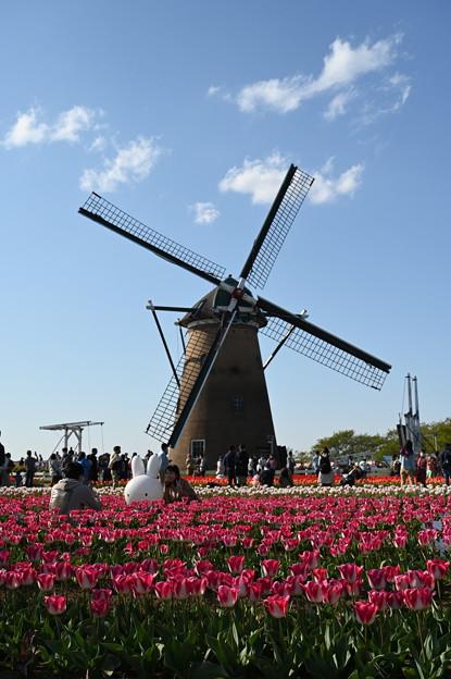 チューリップと風車