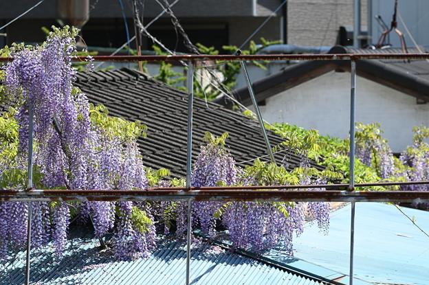 新松戸駅から見えた藤