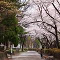 Photos: 平和公園の桜