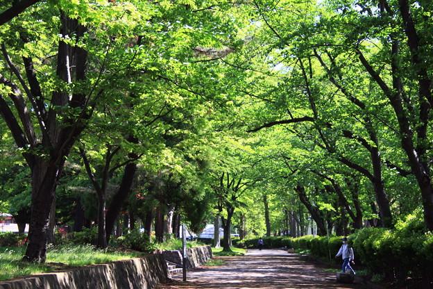 Photos: 葉桜トンネル