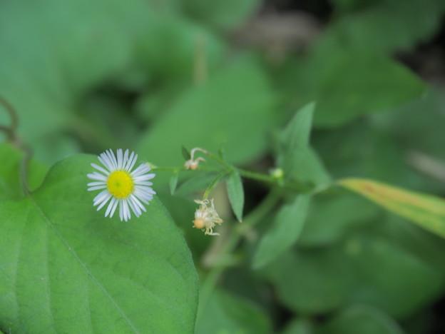 小さな雑草の花(2)