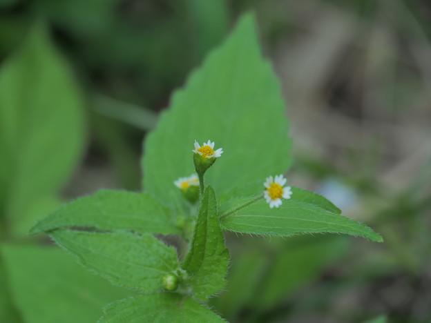 小さな雑草の花(3)