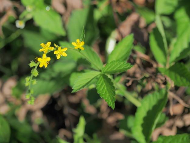 小さな雑草の花(4)
