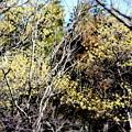 Photos: サンシュユの開花
