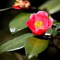Photos: 輝く椿の赤色