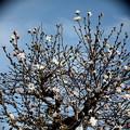 辛夷咲き木