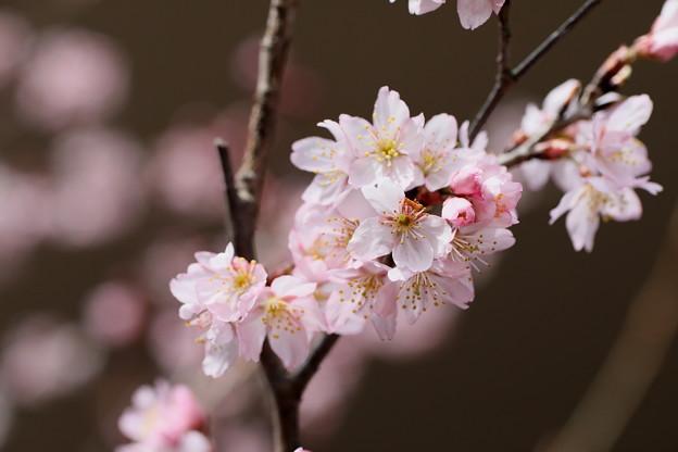 早咲き桜開花