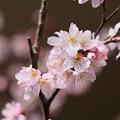 Photos: 早咲き桜開花