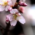 早咲き桜開花2
