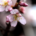 Photos: 早咲き桜開花2