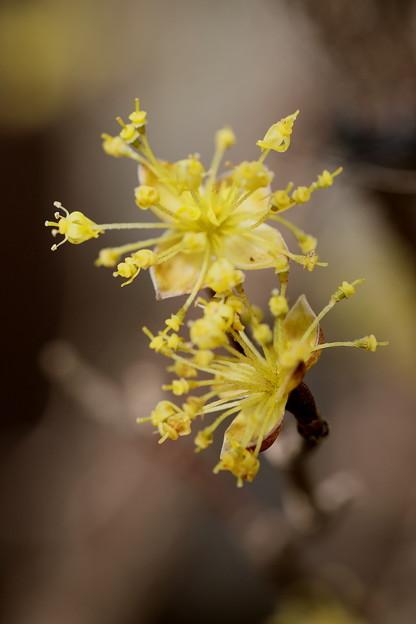 小さな黄色い花 サンシュユ