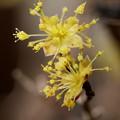 Photos: 小さな黄色い花 サンシュユ