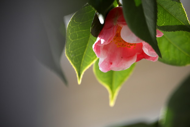 Photos: 椿の赤の色彩