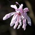 Photos: ピンクの辛夷の花