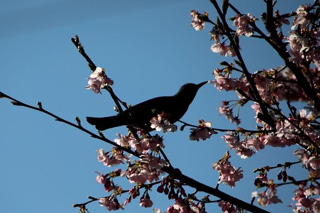 桜の花のヒヨドリ
