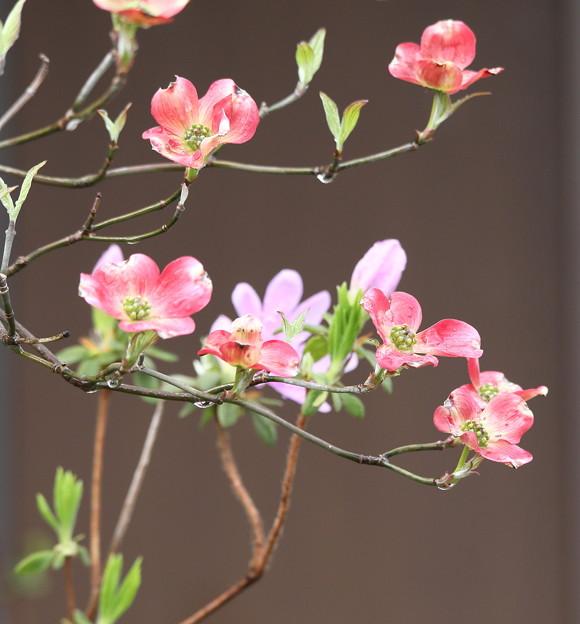 赤系花水木咲く