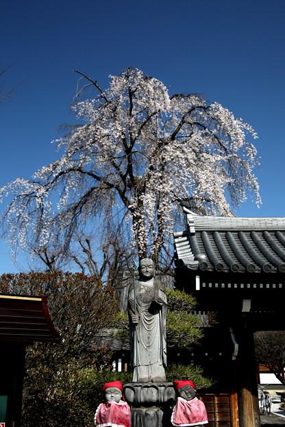 長青寺の枝垂れ桜