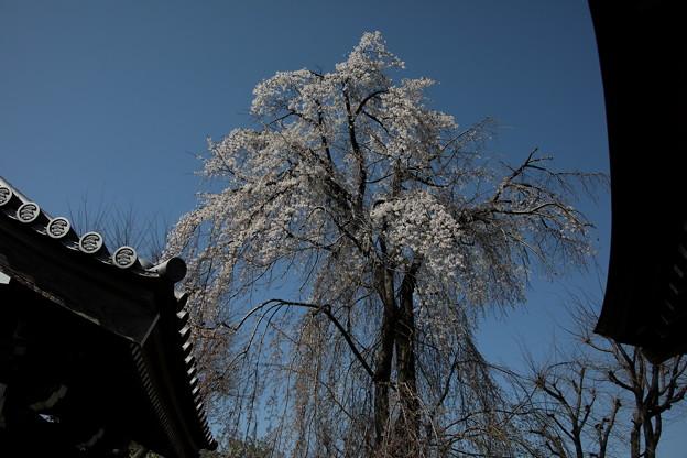 長青寺の枝垂れ桜2