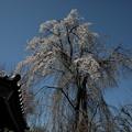 Photos: 長青寺の枝垂れ桜2