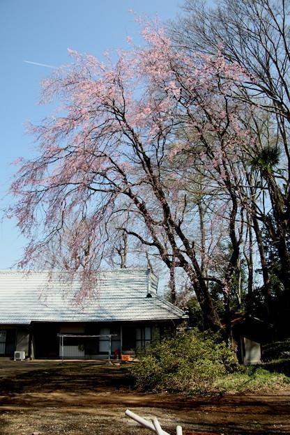 農家の枝垂れ桜1