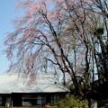Photos: 農家の枝垂れ桜1