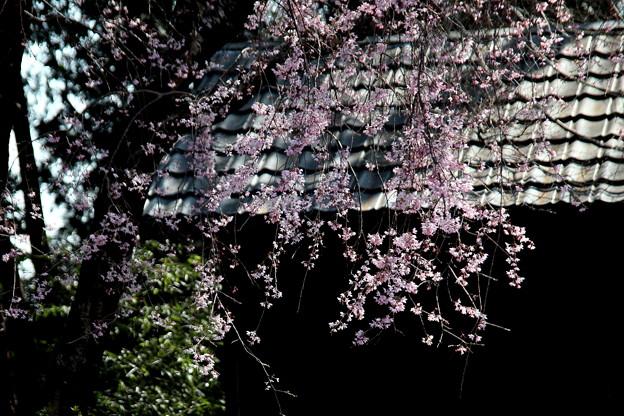 物置小屋の枝垂れ桜