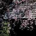 Photos: 物置小屋の枝垂れ桜