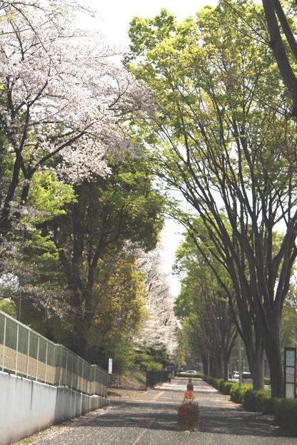 櫻と若葉の歩道