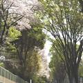 Photos: 櫻と若葉の歩道