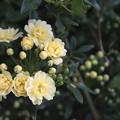 Photos: 木香薔薇が咲き始める