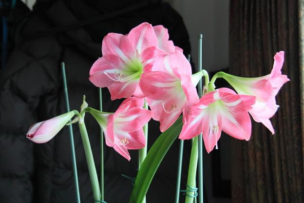 咲き誇るアマリリス