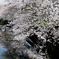 東川の櫻11